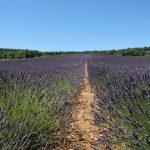 Lavendel - Feld der Young-Living-Farm in Simiane-la-Rotonde, Provence, Frankreich